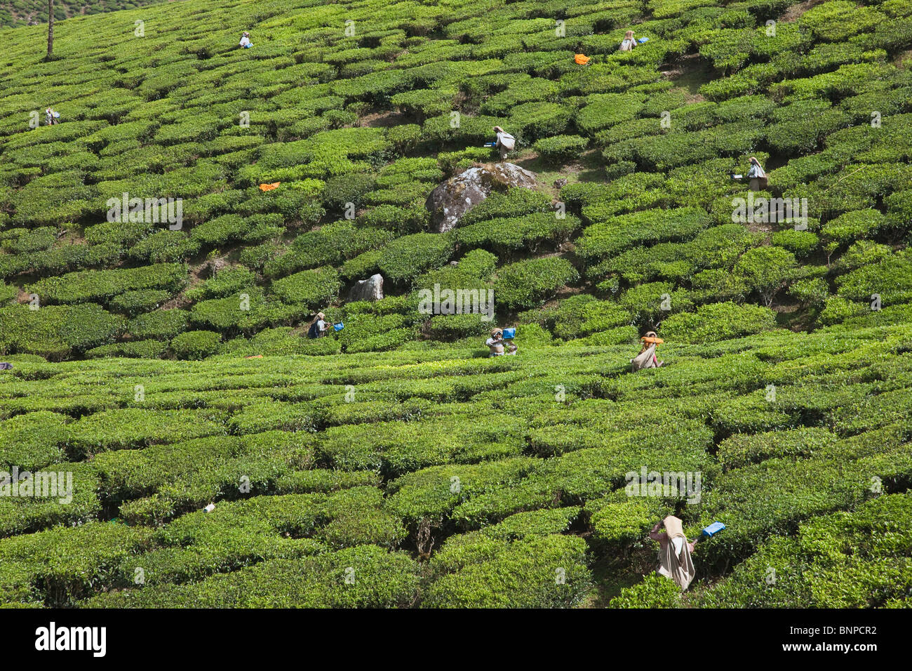 Munnar has sprawling tea plantations where most of the tea is still picked by hand. Munnar, Kerala, India. - Stock Image