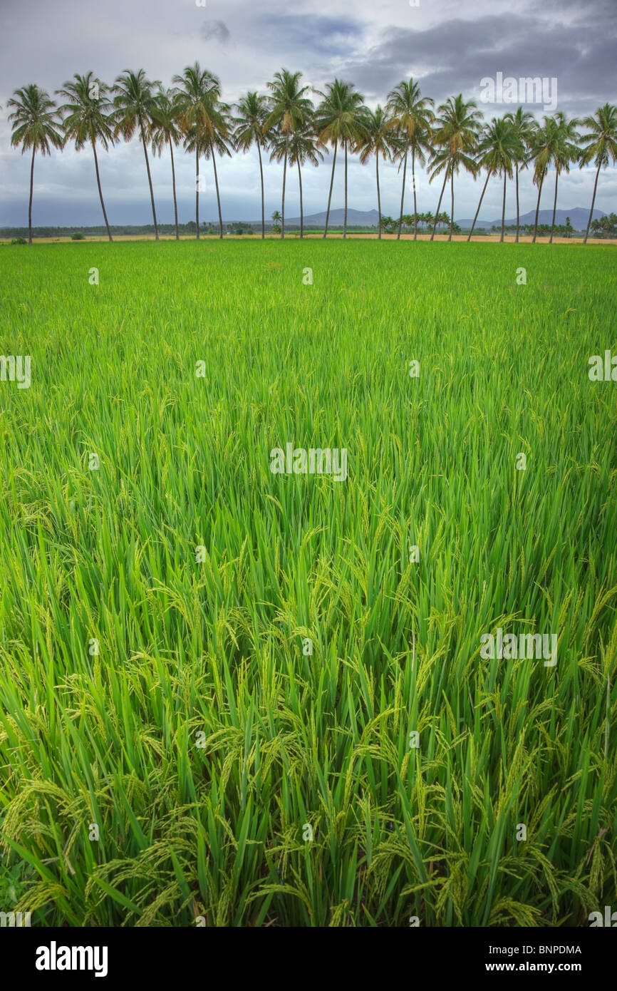 Rice field with coconuts in background. Theni Tamil Nadu, southern India - Stock Image