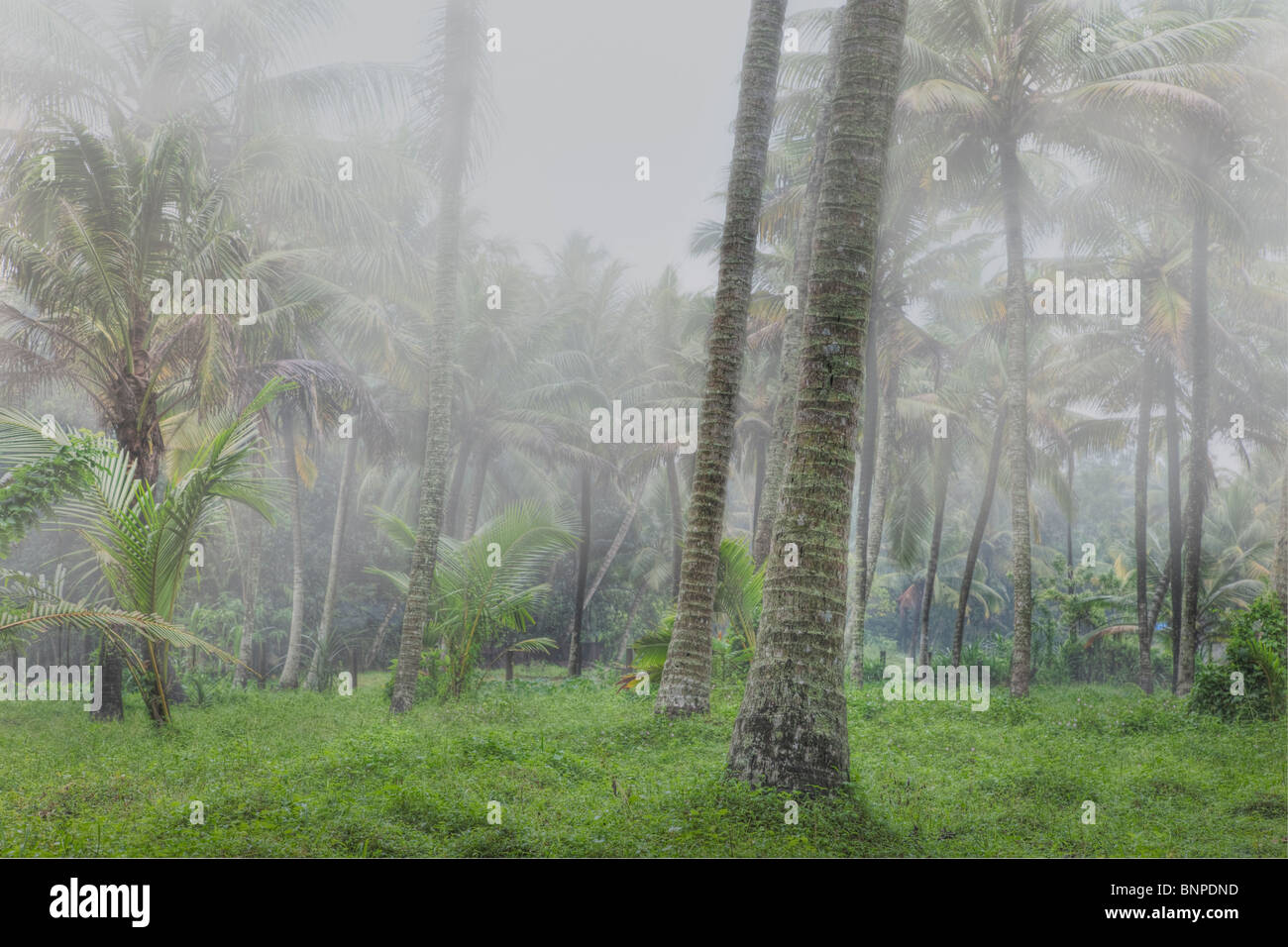 Tall coconut trees shrouded in mist. Kochi, Kerala, India. Digital Composite - Stock Image