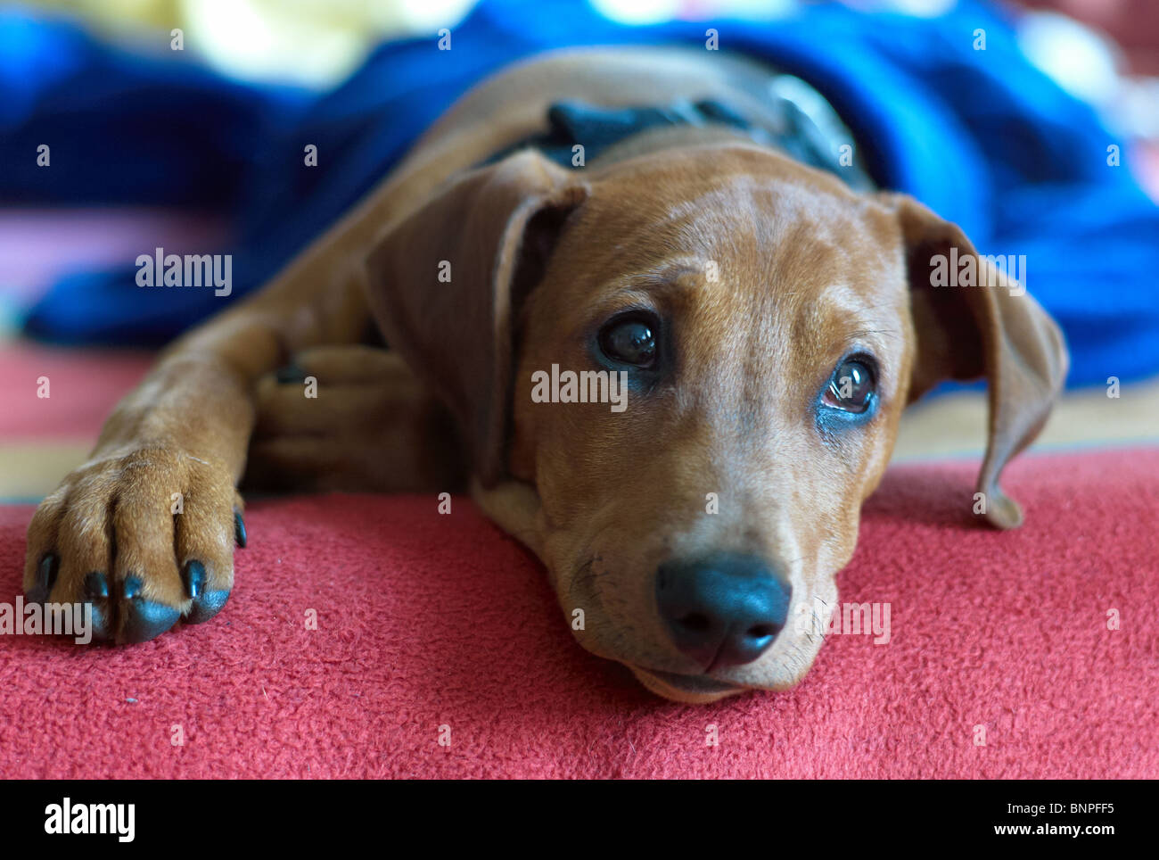 A dog lying on a blanket and looking dreamily - Stock Image