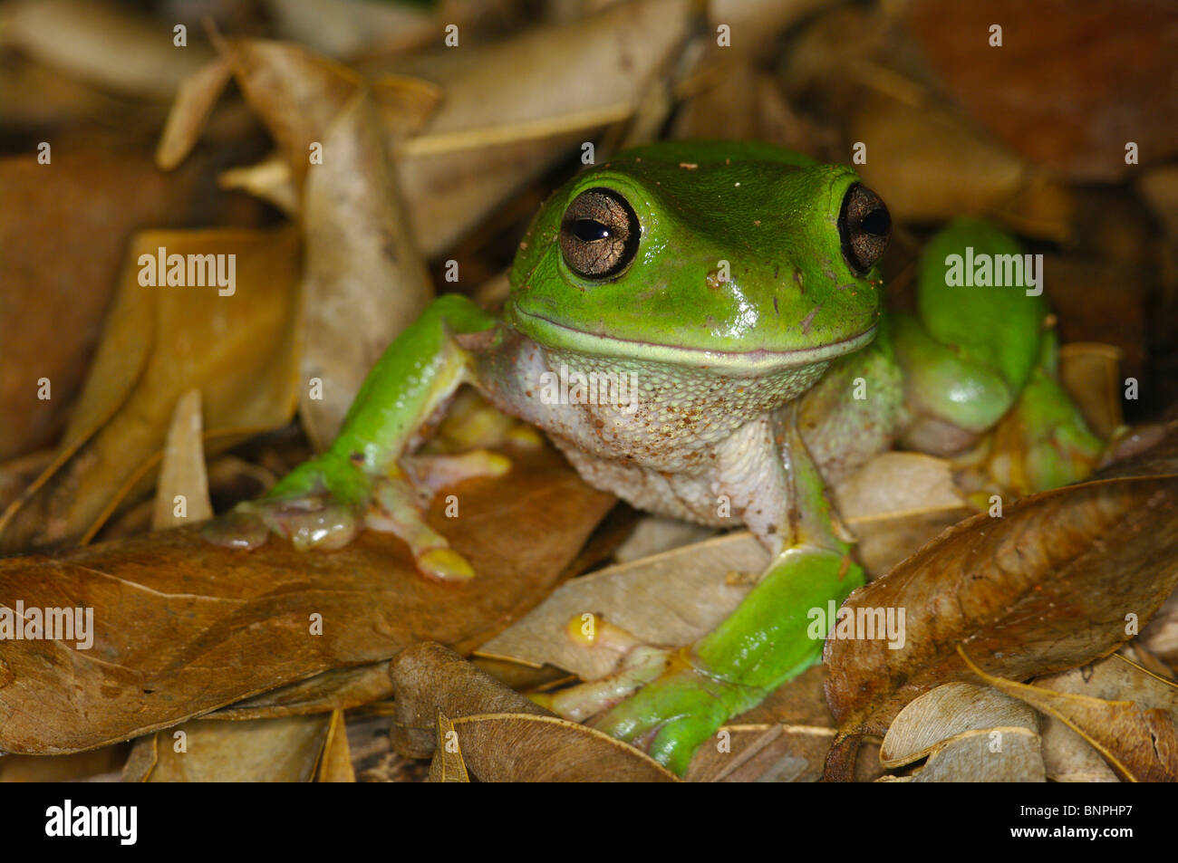 A Green Treefrog (Litoria caerulea) grinning in leaf litter in Batchelor, Northern Territory, Australia. - Stock Image