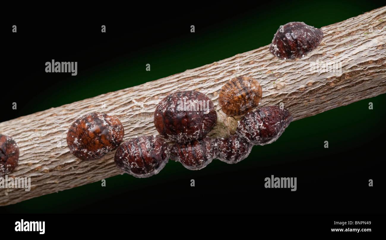 European fruit lecanium scale insect Parthenolecanium corni, on woody stem - Stock Image