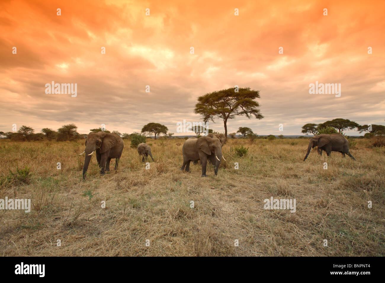 Herd of African Elephants (Loxodonta africana) on the move, Tarangire National Park, Tanzania - Stock Image