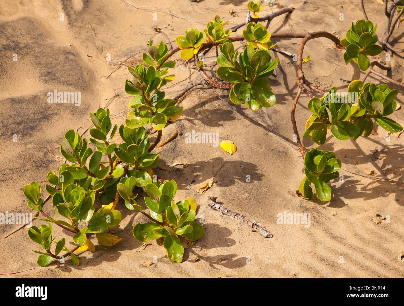 dune vegitation - Stock Image