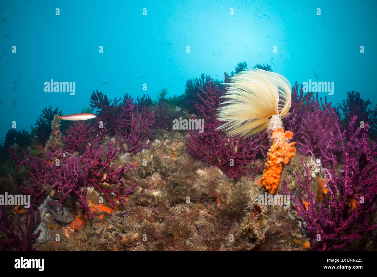 Spiral Tube Worm in Coral Reef, Spirographis spallanzani, Cap de Creus, Costa Brava, Spain Stock Photo
