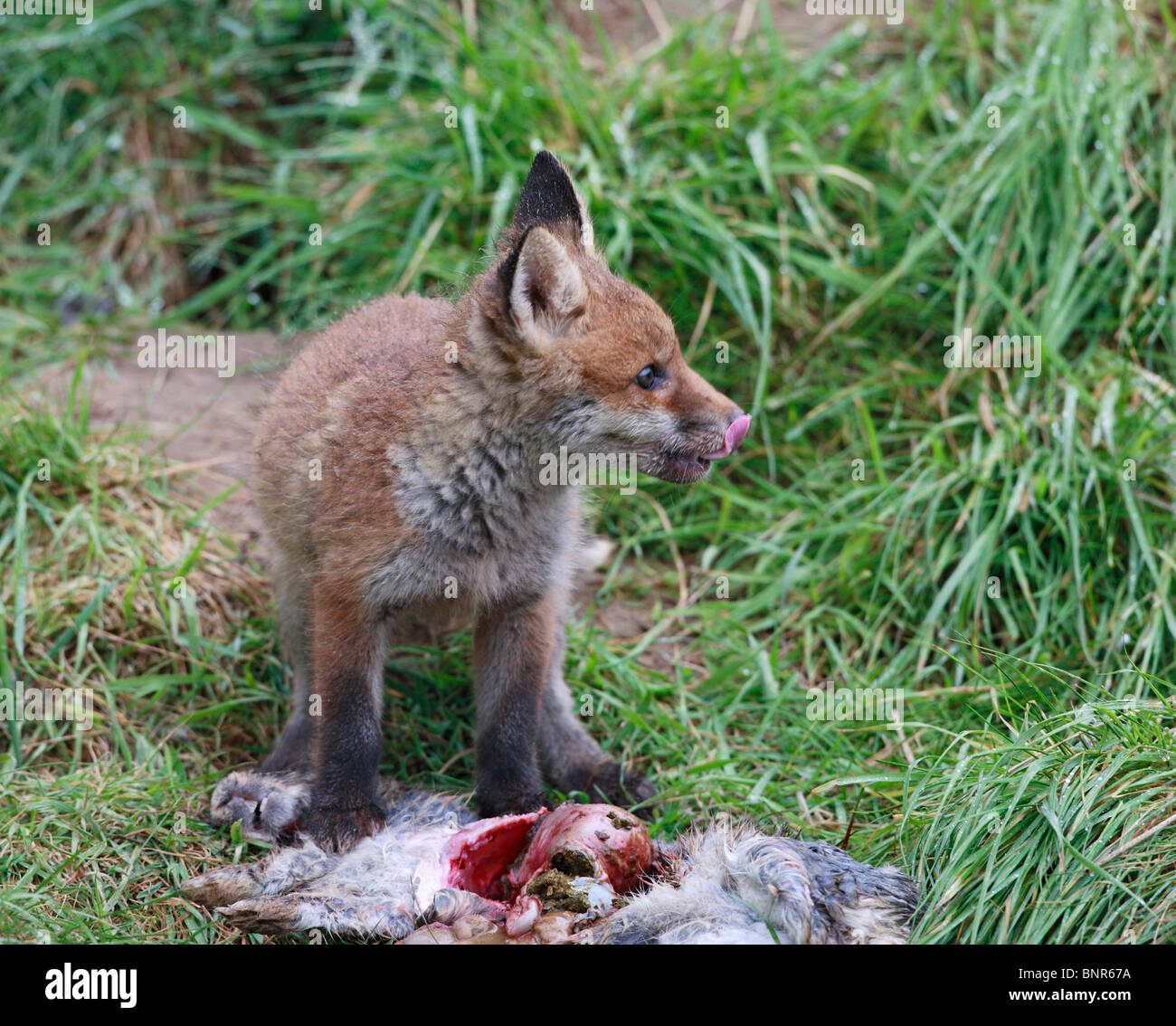 Red fox eating rabbit - photo#30