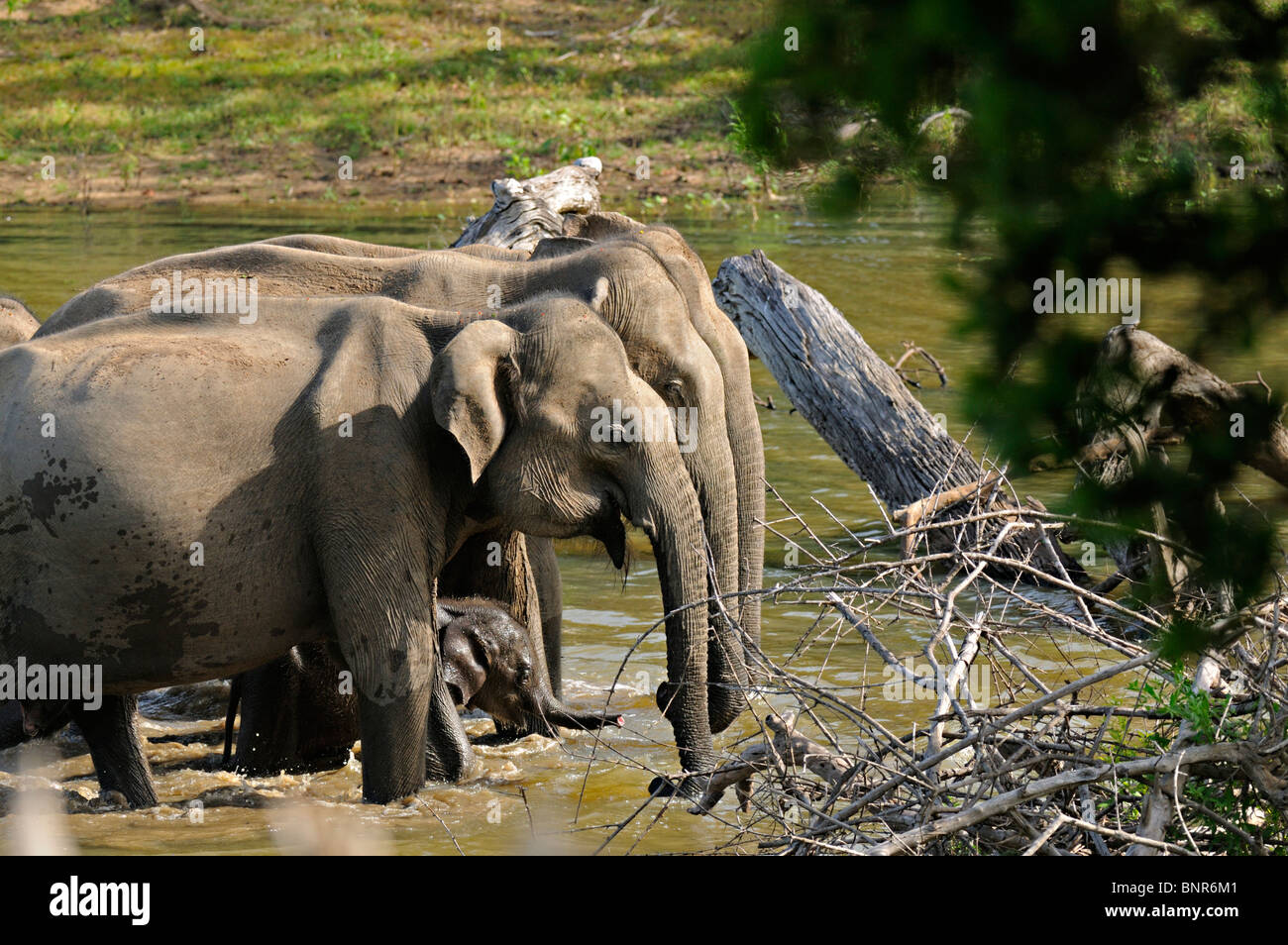 Elephant family with a very young baby in a water stream Yala or Ruhuna National Park in Sri Lanka - Stock Image