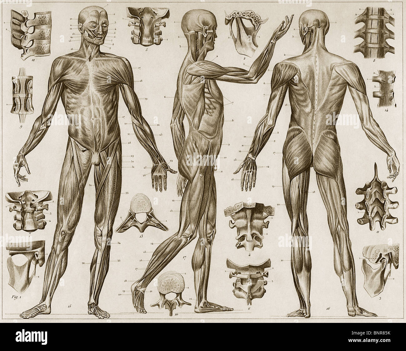 Historical etching of human musculature from the anterior, posterior ...