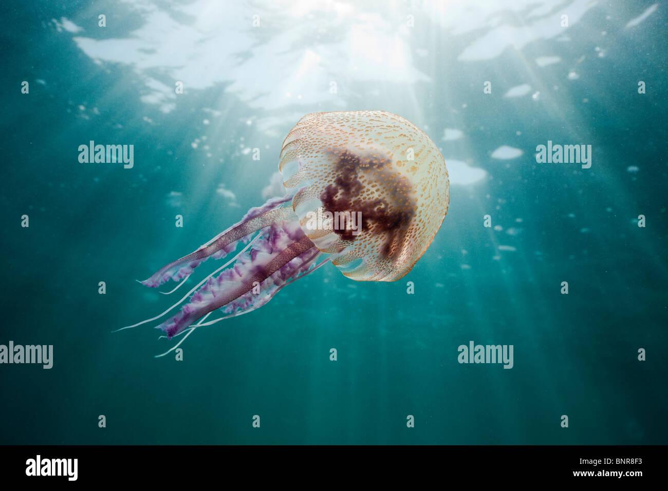 Mauve Stinger Jellyfish, Pelagia noctiluca, Cap de Creus, Costa Brava, Spain - Stock Image