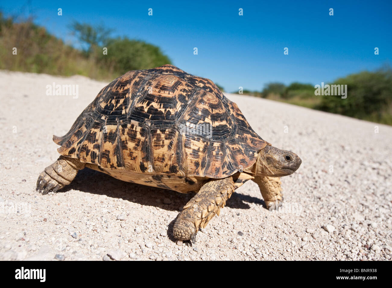 Leopard tortoise Geochelone pardalis crossing a road in Etosha Nationalpark Namibia - Stock Image