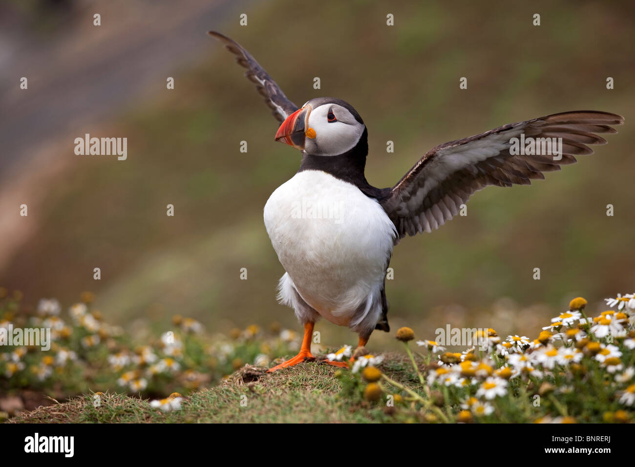 Puffin flapping its wings - Stock Image