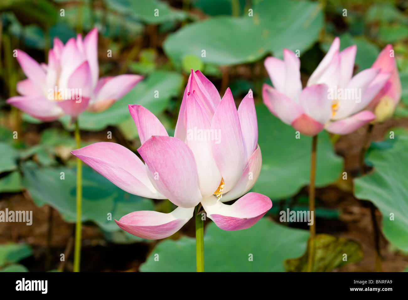 Blossoming Lotus Flowers In A Pond Kandal Province Cambodia Stock