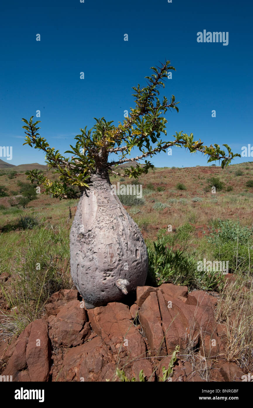 Bottle tree Pachypodium lealii at Palmwag Namibia - Stock Image