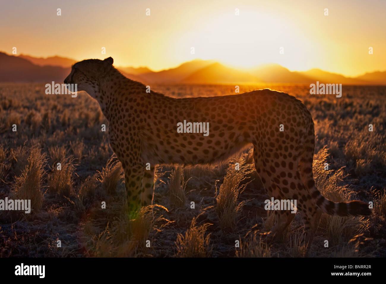 Cheetah (Acinonyx jubatus)in silhouette standing in desert habitat at sunset. Namib desert Namibia - Stock Image