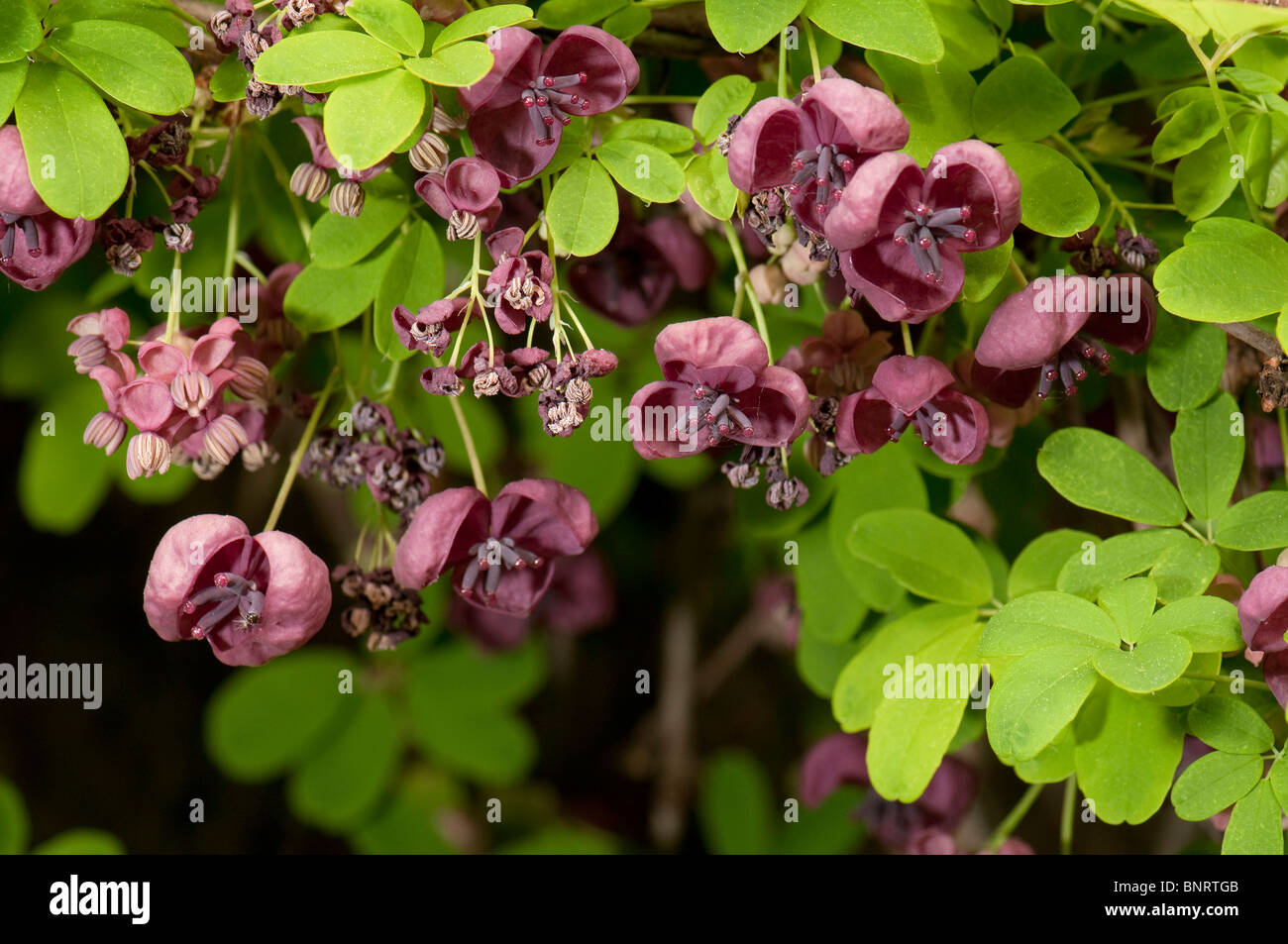 Akebia stock photos akebia stock images alamy chocolate vine five leaf akebia akebia quinata flowering stock image mightylinksfo