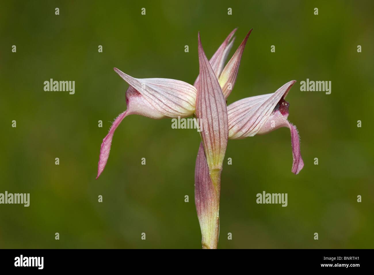 Tongue Orchid (Serapias lingua) - Stock Image