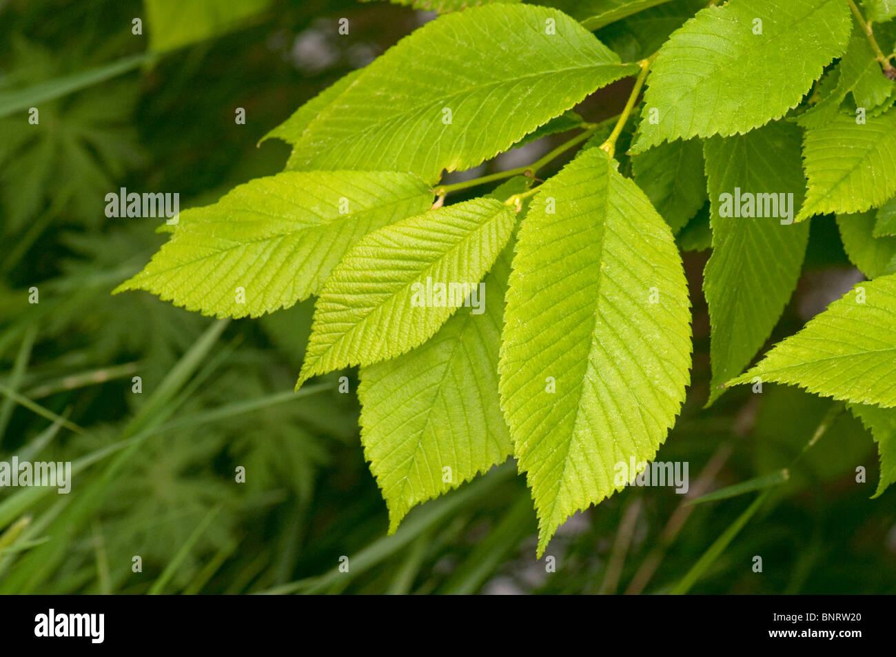 Wych Elm (Ulmus glabra). Twig with fresh leaves. - Stock Image