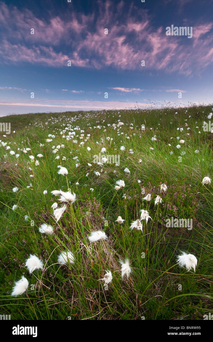 Cotton weed on the island Runde in Herøy kommune, Møre og Romsdal fylke, west coast of Norway. - Stock Image