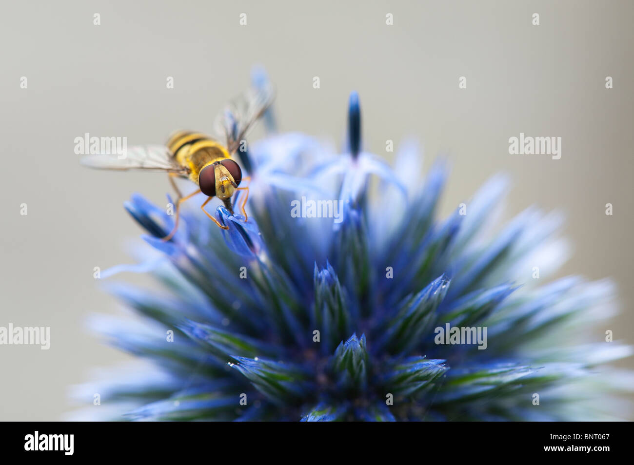 Hoverfly on a Echinops ritro 'veitchs' (Globe Thistle) flower - Stock Image