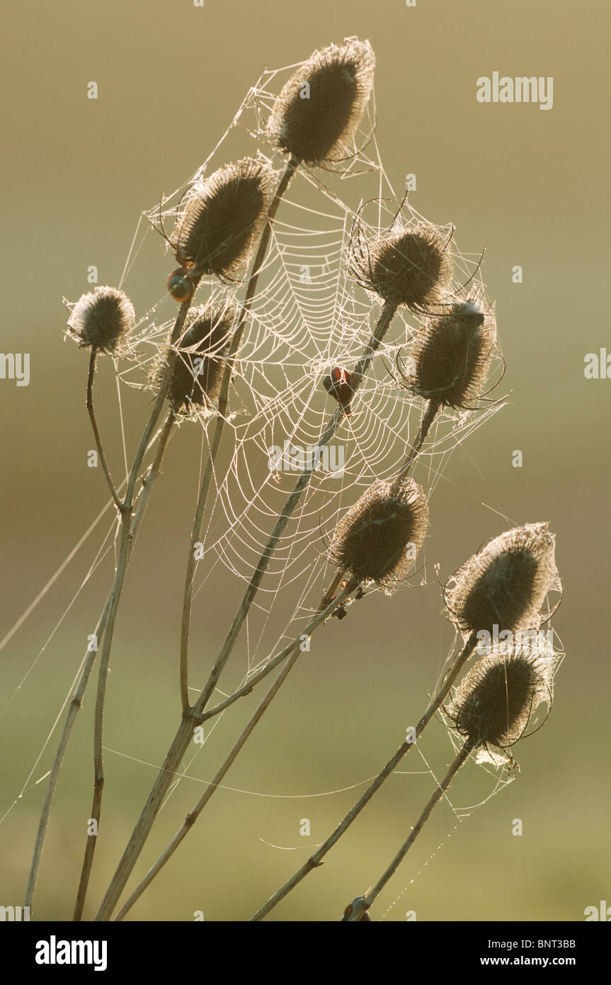 Common Teasel (Dipsacus fullonum) seedhead, dew covered orb web, North Kent Marshes, Kent, England. - Stock Image