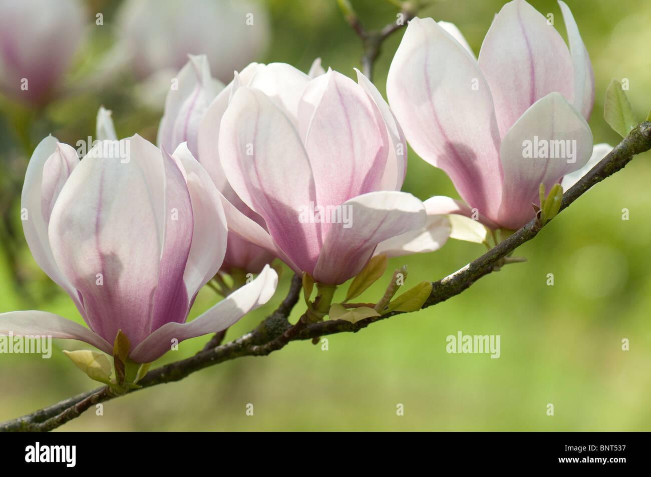 Saucer Magnolia (Magnolia x soulangeana), variety: Norbertiana, flowering twig. Stock Photo