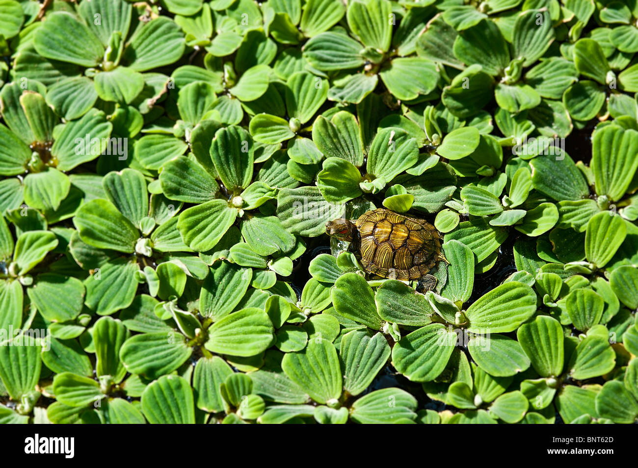 Turtle on water lettuce. - Stock Image