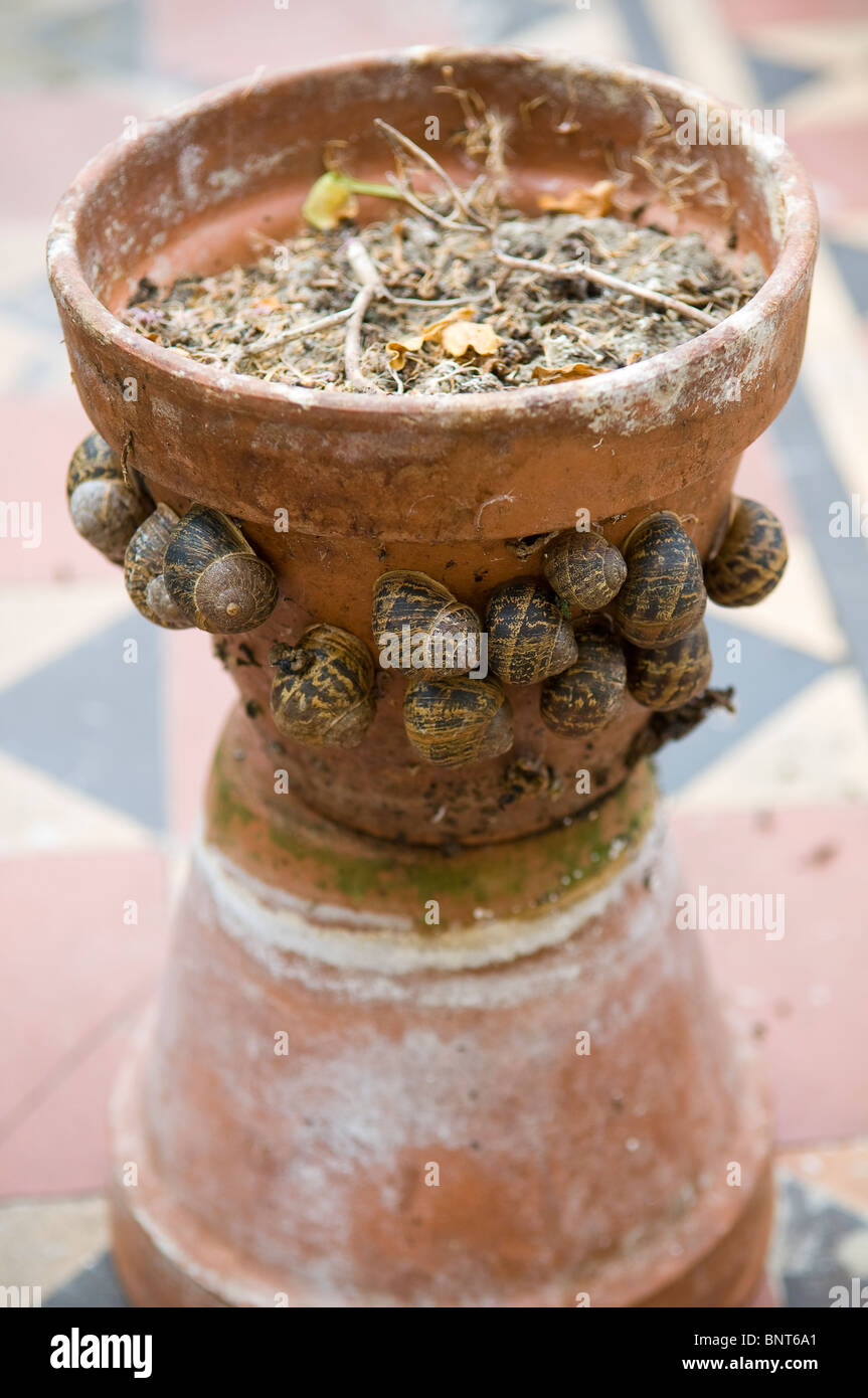 Clay plant pot covered in garden snails - Stock Image