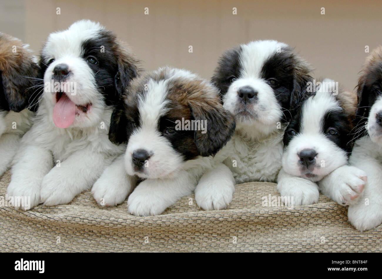 St Bernard puppies: a record litter of 13 puppies born near Stock