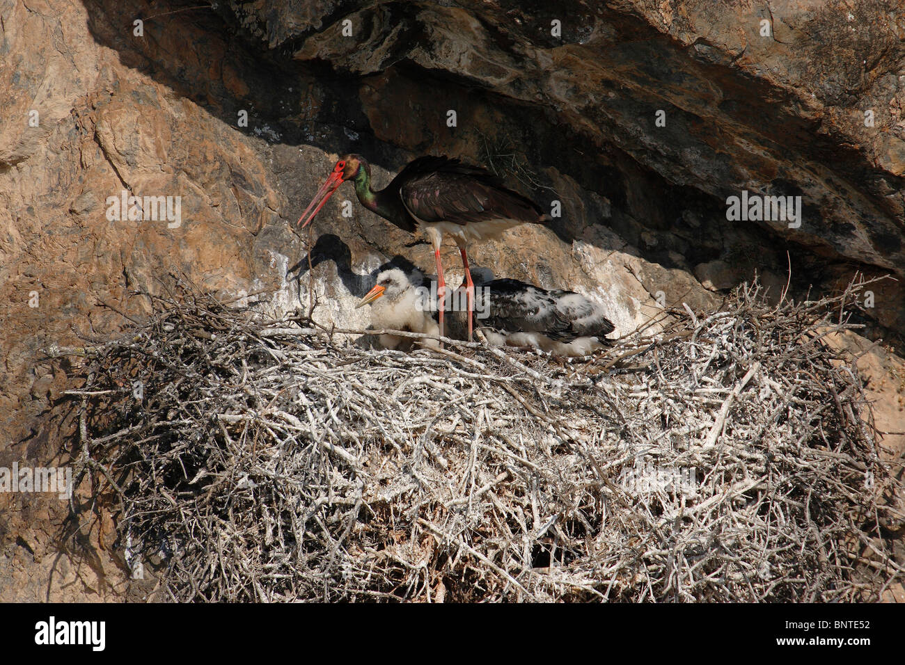Black Stork (Ciconia nigra), adult with chicks at nest. - Stock Image