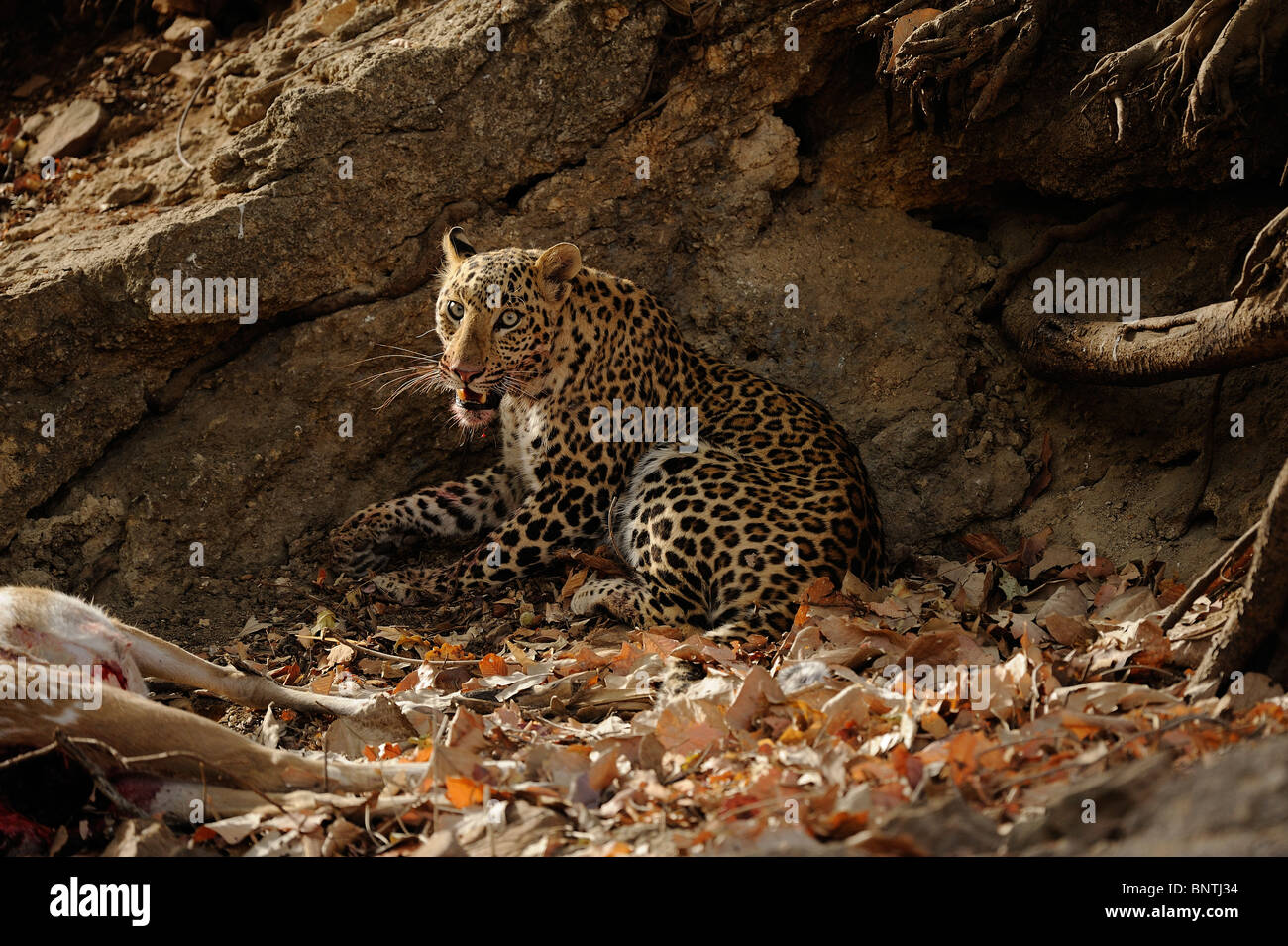 Leopard (Panthera pardus) resting after a kill, Ranthambhore, India. - Stock Image