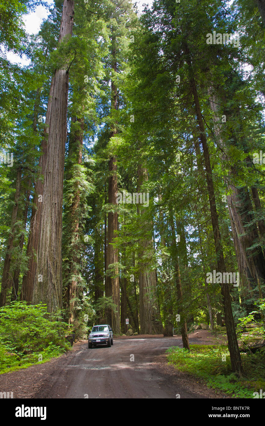 Redwood trees in Humbold Redwoods State Park in Northern California - Stock Image