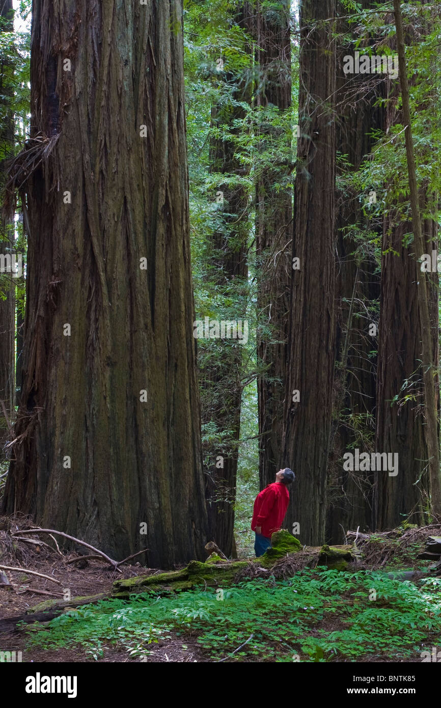 Woman in red looking up at Redwood trees in Humboldt Redwoods State Park in Northern California - Stock Image