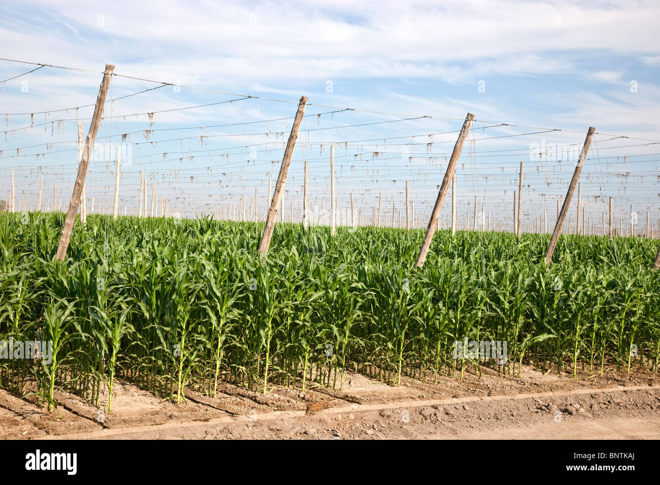 Corn growing, crop rotation - Stock Image