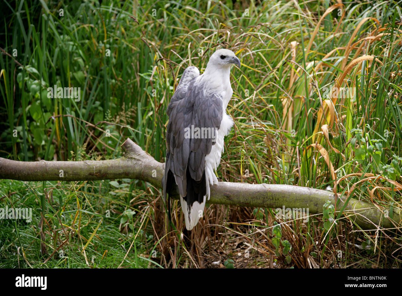 White-Bellied Sea Eagle, Haliaeetus leucogaster, Accipitridae, Accipitriformes, India, South East Asia and Australia. Stock Photo