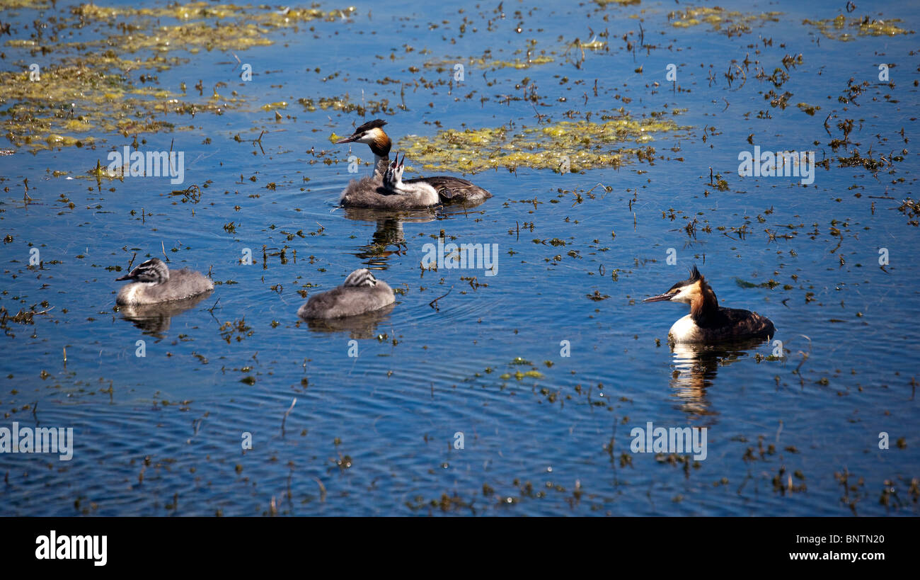 Great Crested Grebes and young on lake, Podiceps cristatus, Bryn Bach Country Park, Tredegar, Wales, UK - Stock Image