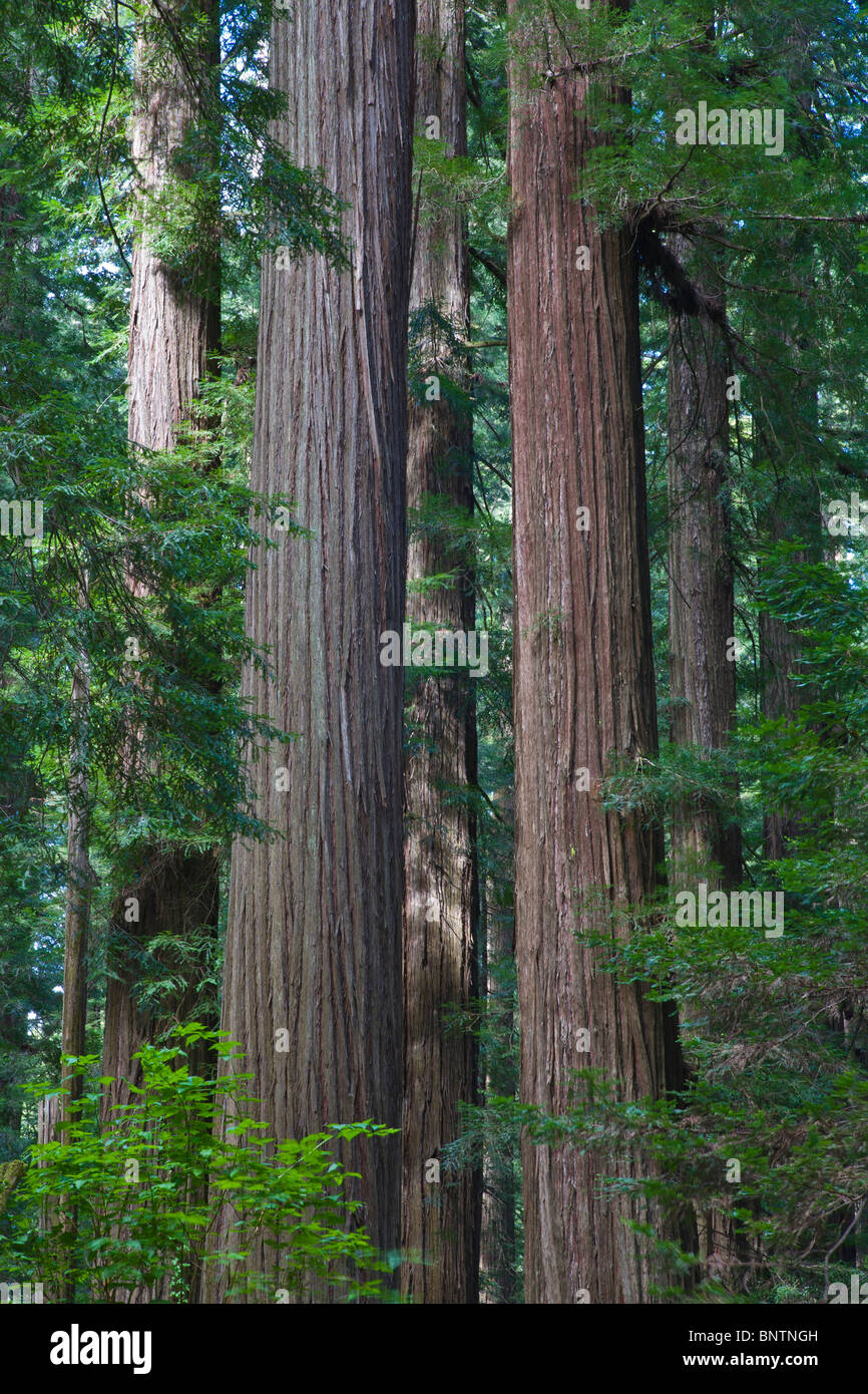 Redwood trees in Humboldt Redwoods State Park in Northern California - Stock Image