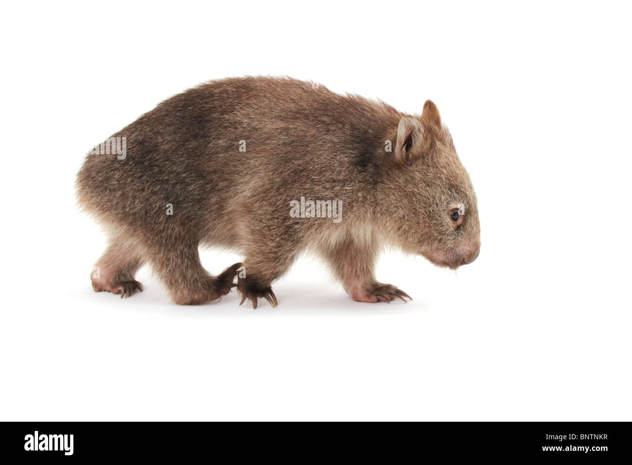 Common or bare nosed wombat, photographed in a studio Stock Photo