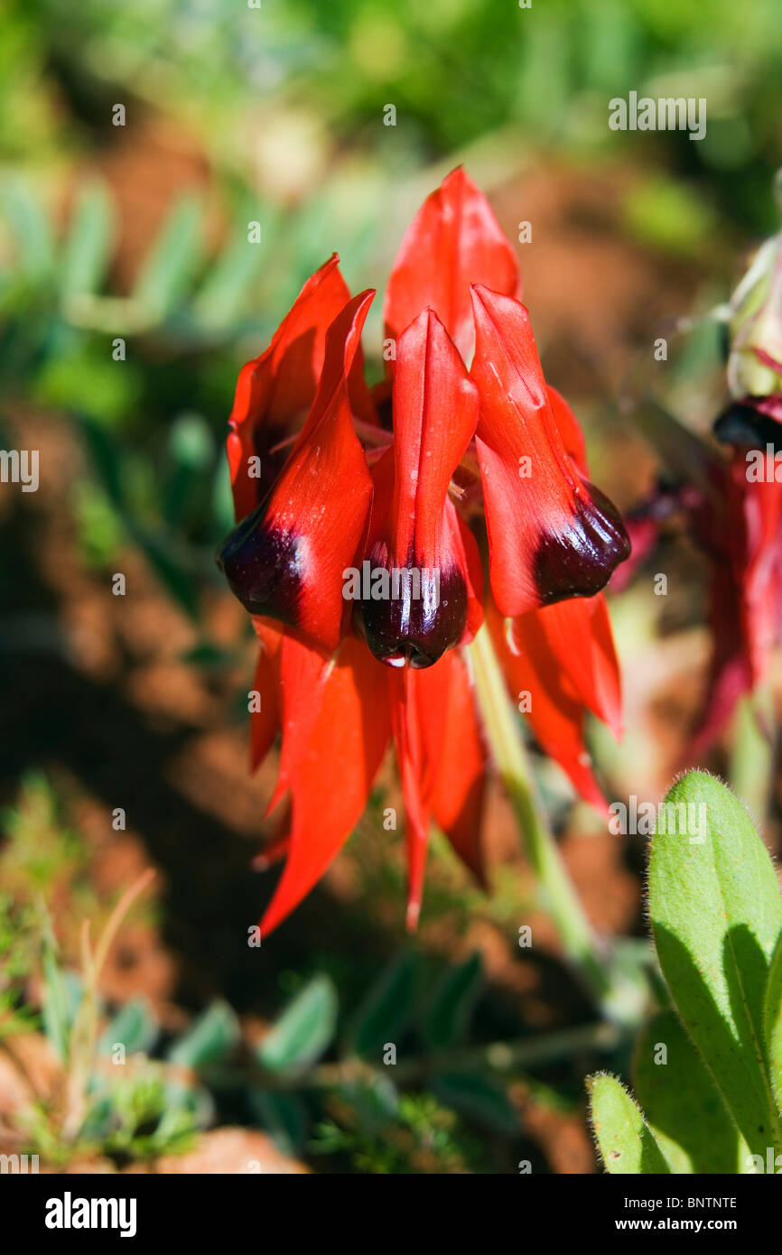 Flowers of the outback stock photos flowers of the outback stock sturts desert pea swainsona formosa alice springs queensland australia mightylinksfo