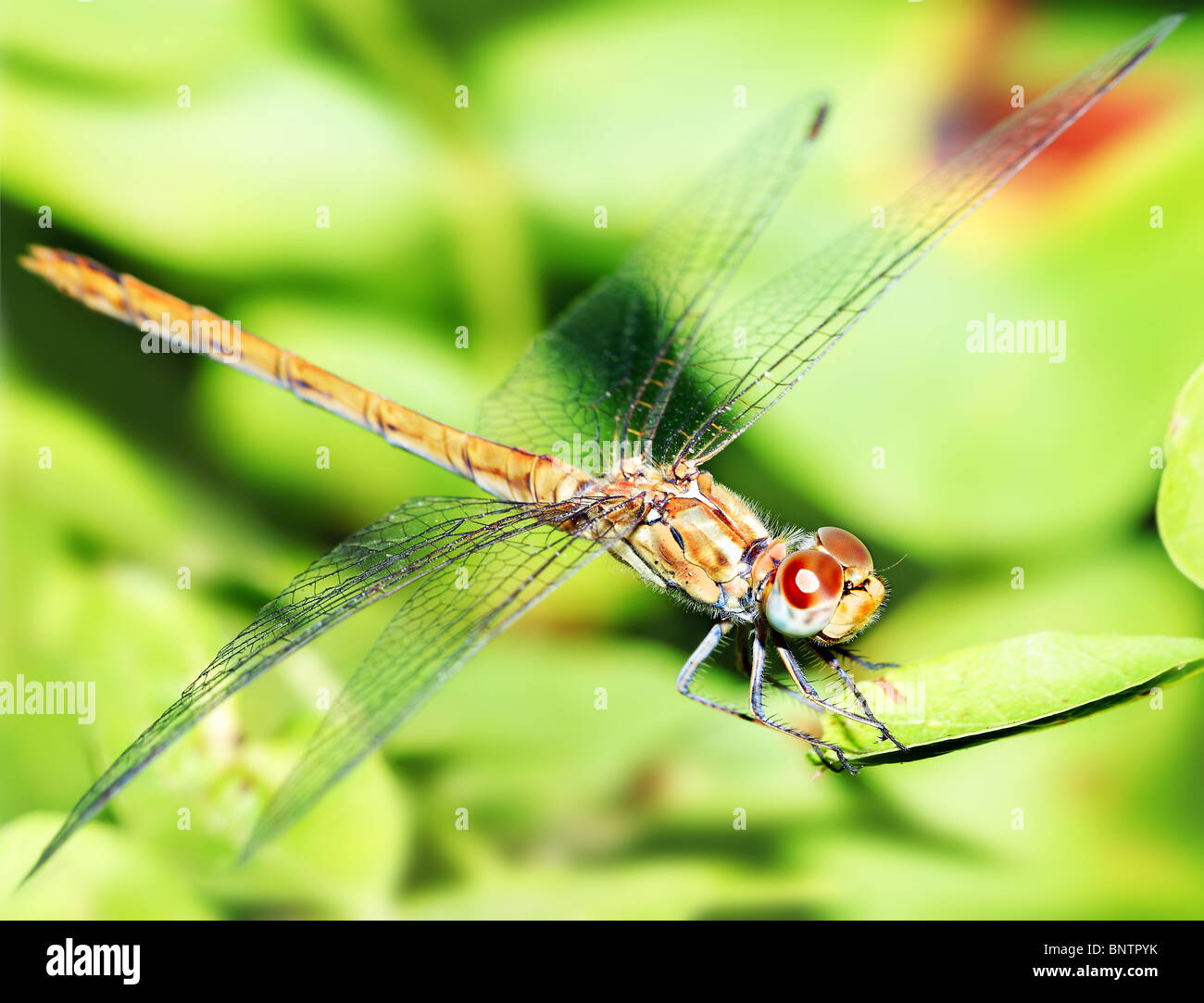Closeup portrait of a beautiful colorful dragonfly - Stock Image