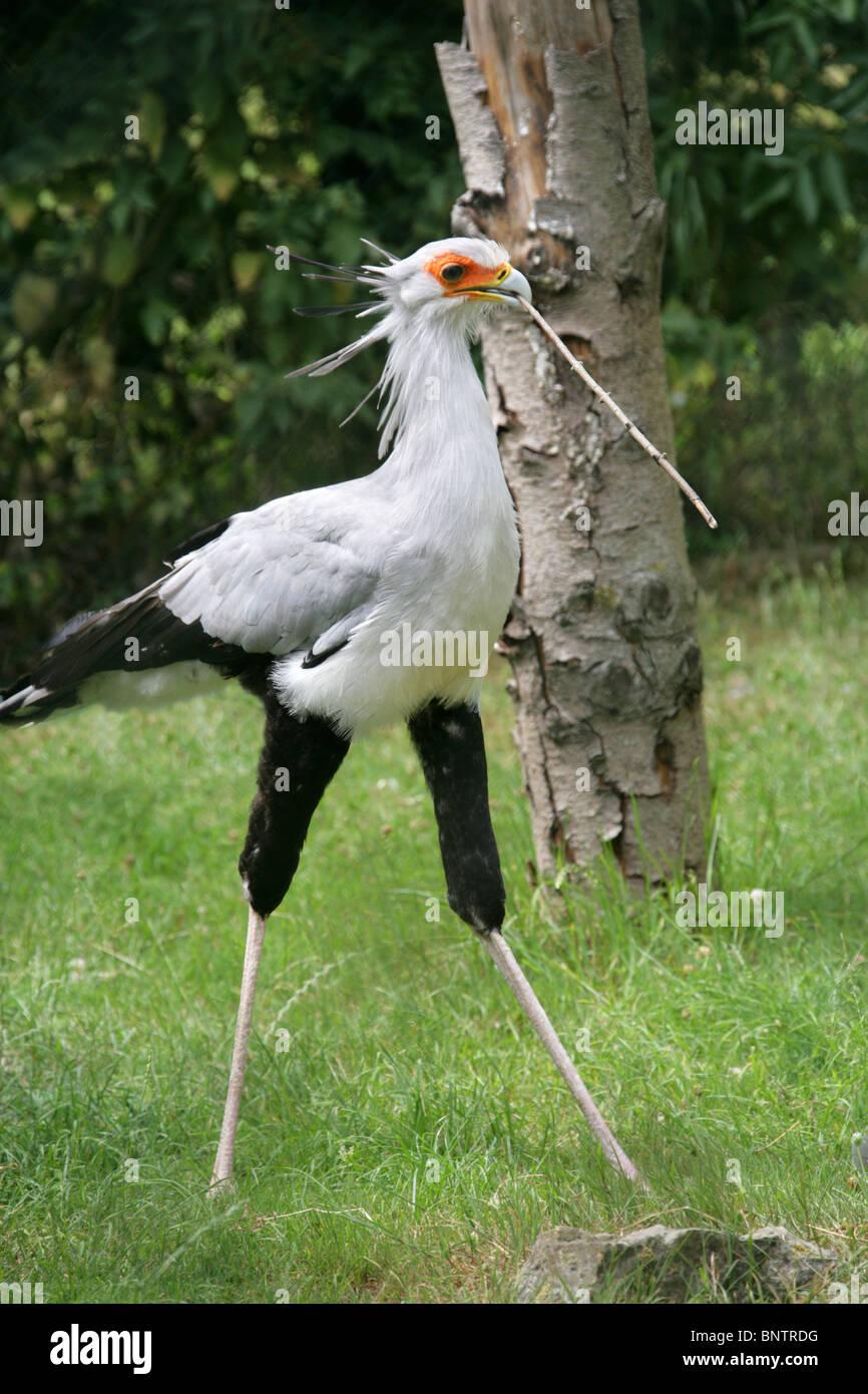 Secretarybird or Secretary Bird, Sagittarius serpentarius, Sagittariidae, Accipitriformes. Endemic to Africa. Stock Photo