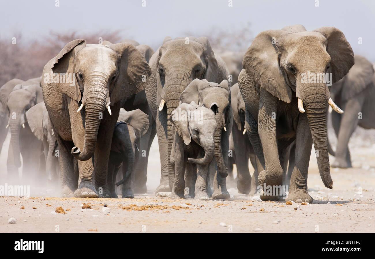 Large herd of elephants approaching over the dusty plains of Etosha National Park - Stock Image