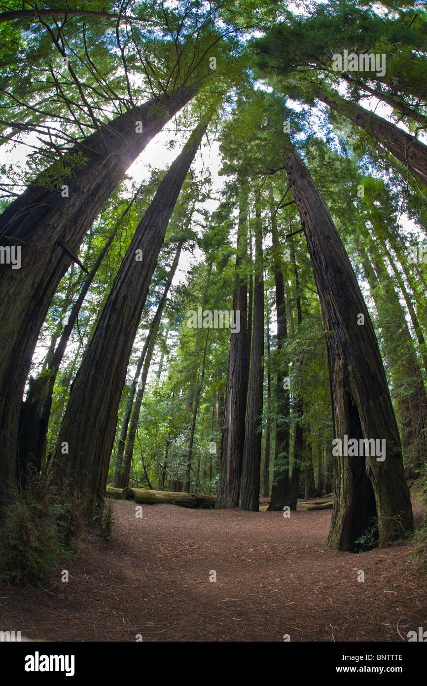 Looking up into top of redwood trees with fisheye lens in Humboldt Redwoods State Park in Northern California - Stock Image