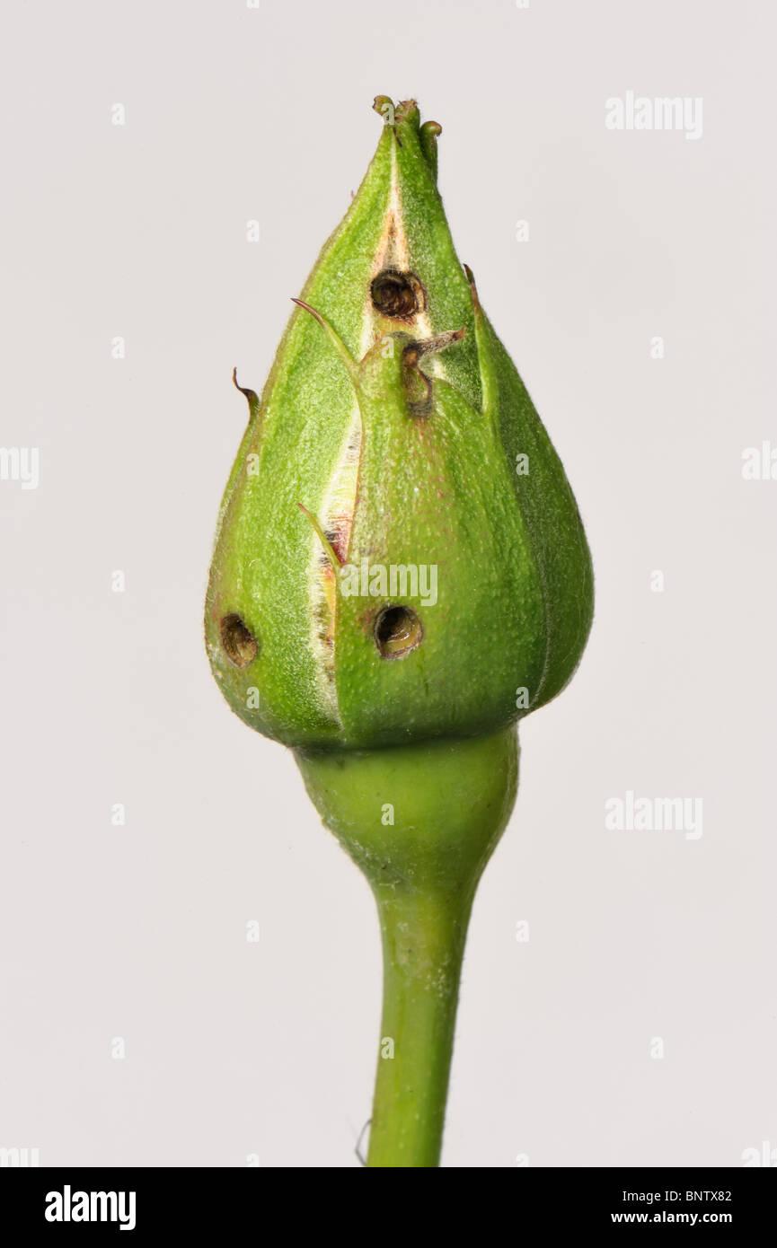 Winter moth (Operophtera brumata) caterpillar feeding damage rose flower bud - Stock Image