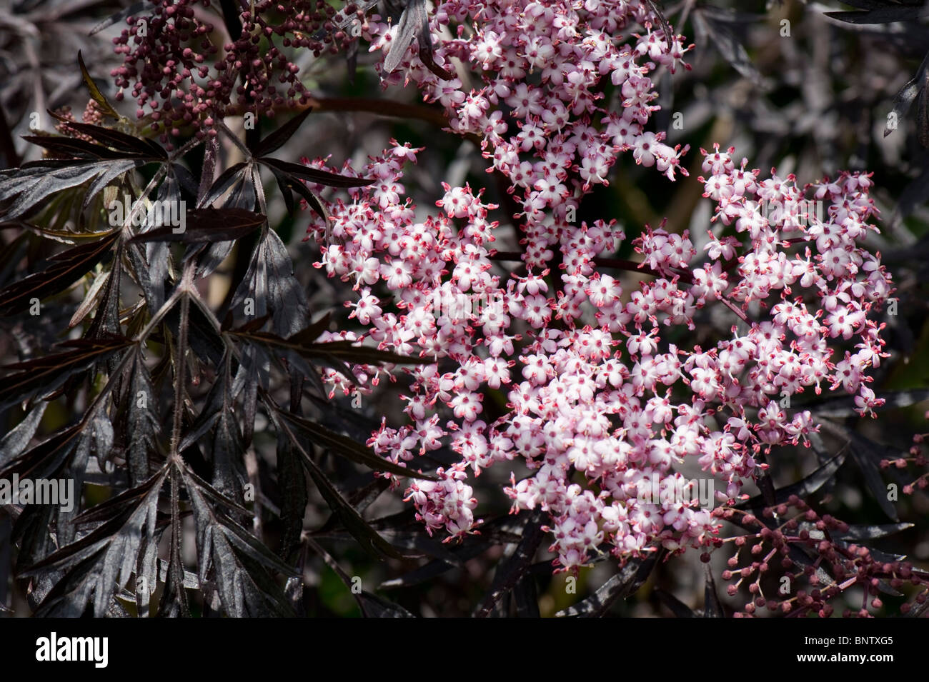 Elder sambucus nigra black lace pink flowers with fine black elder sambucus nigra black lace pink flowers with fine black foliage mightylinksfo