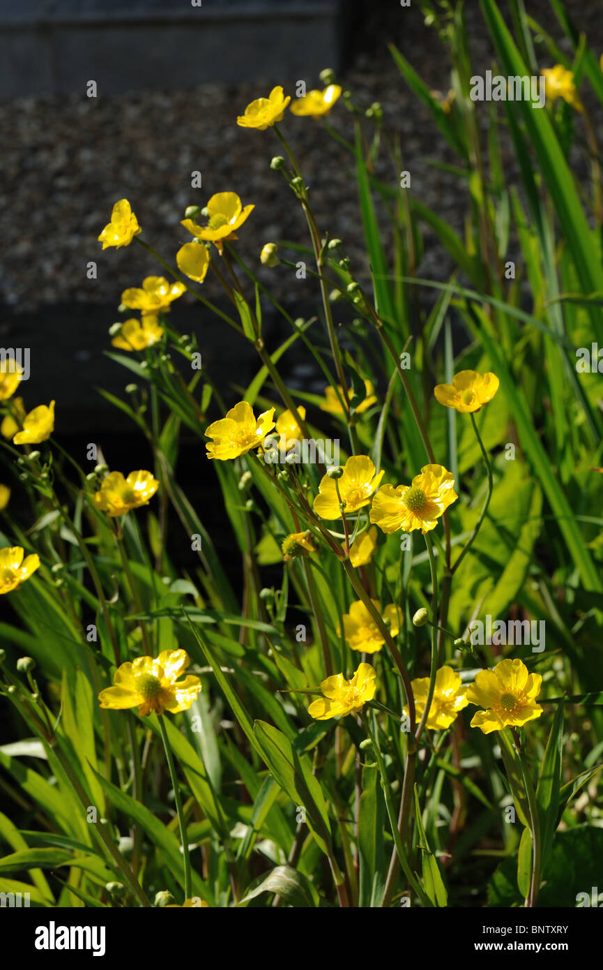 Greater spearwort (Ranunculus lingua 'Grandiflora') flowering in a garden pond - Stock Image