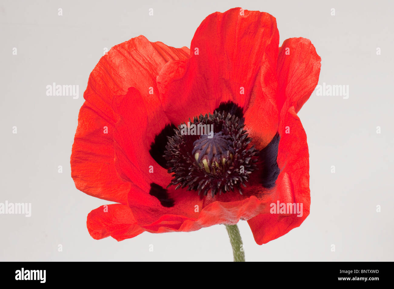 Bright red flower of an oriental poppy (Papaver orientalis) against a white background - Stock Image