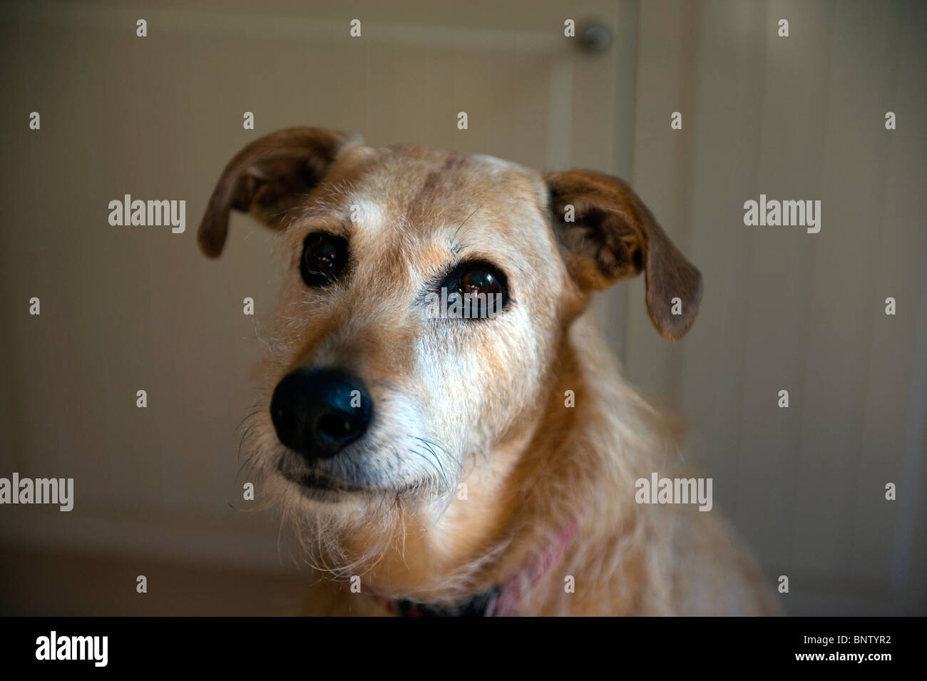 Lurcher breed of dog. - Stock Image