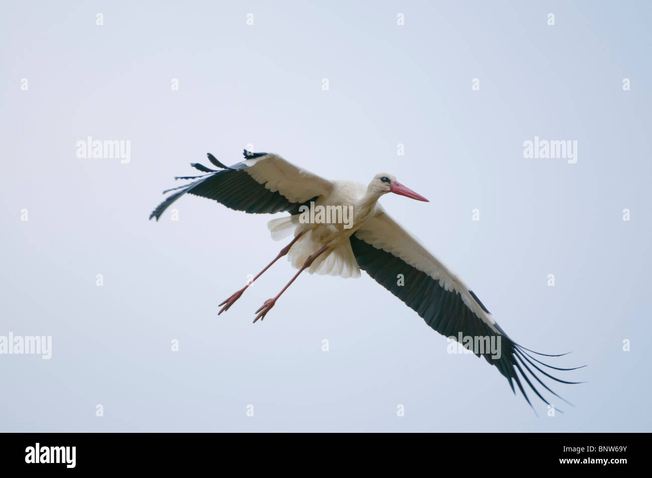 Common european Stork (Ciconia ciconia), flying, Spain Stock Photo