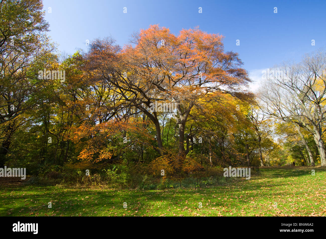 Black Tupelo Tree in Fall Colors in New York City's Central Park - Stock Image