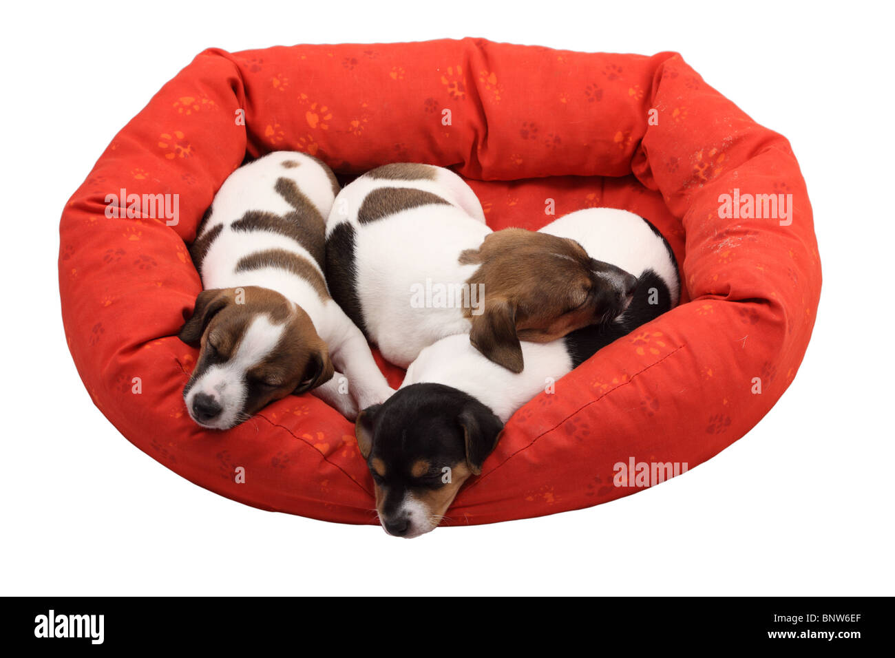 Jack Russel Terrier puppies sleeping in their cot. Isolated over white background - Stock Image